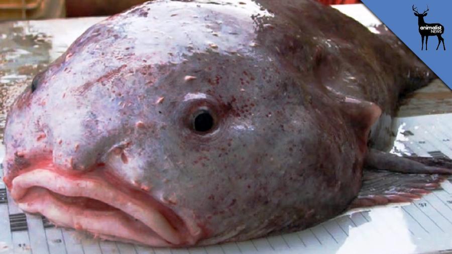 Рыба-капля. Фото и видео рыбы-капли.