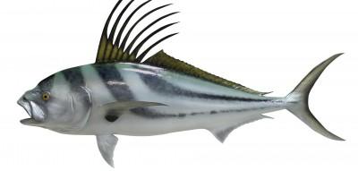 Крылатка или рыба-зебра. Описание, образ жизни, интересные ...