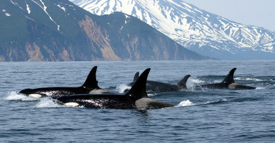 Косатка – кит-убийца: описание жизни с фото...