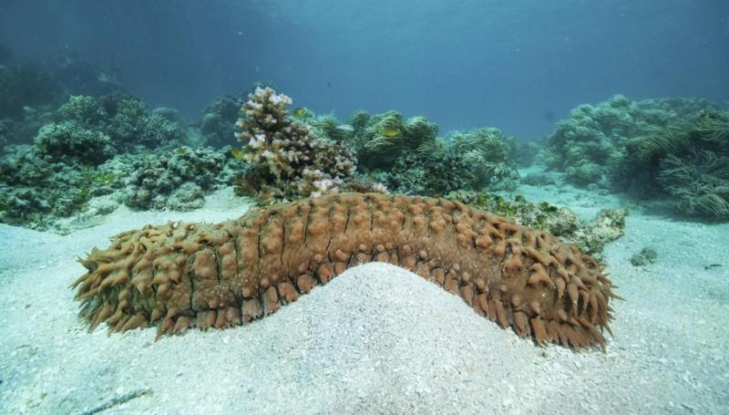 Морской огурец или голотурия. Описание, образ жизни, фото морских огурцов