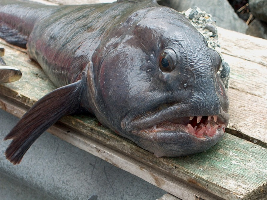 «Рыбой-мутантом», якобы выловленной около Северска, оказалась северная зубатка